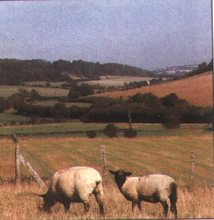 The North Downs with sheep